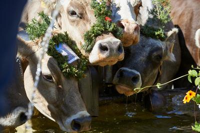 """In Schwarzenberg-Bregenzerwald findet der alljährliche """"Alptag"""", eines der grössten Feste statt. Nach einem langen Marsch trinken die Kühe aus dem Dorfbrunnen."""