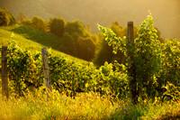 Der Weinberg vom Buschenschank Wölfl in der Steiermark, im Sonnenaufgang.