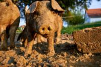 Fotoreportage - Regionen & Brauchtum - Duroc Freilandschweine